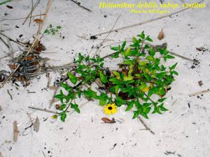 Helianthus debilis subsp. vestitus