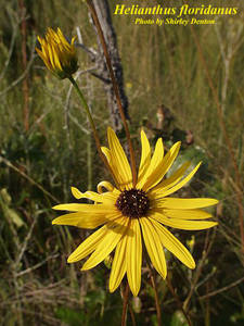 Helianthus floridanus