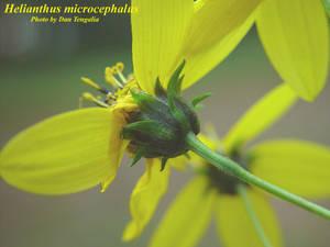 Helianthus microcephalus