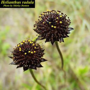 Helianthus radula