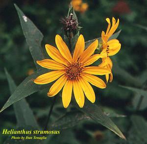 Helianthus strumosus