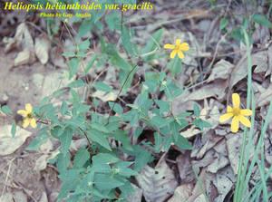 Heliopsis helianthoides var. gracilis