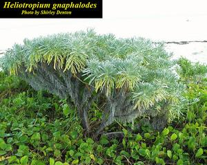 Heliotropium gnaphalodes
