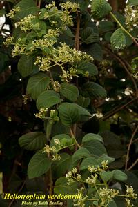 Heliotropium verdcourtii