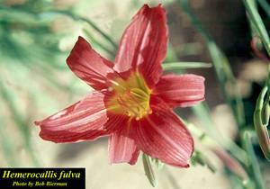Hemerocallis fulva