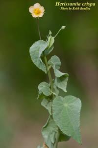 Herissantia crispa