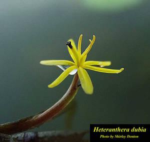 Heteranthera dubia