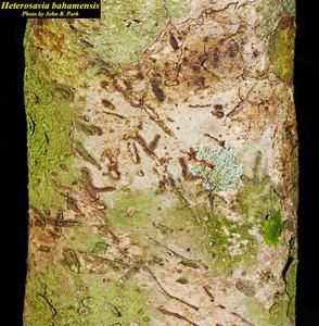 Heterosavia bahamensis