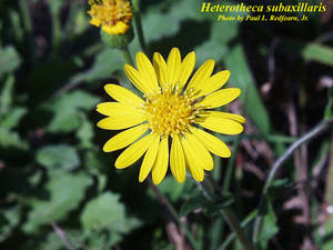 Heterotheca subaxillaris