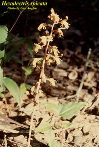 Hexalectris spicata