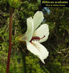 Hibiscus aculeatus