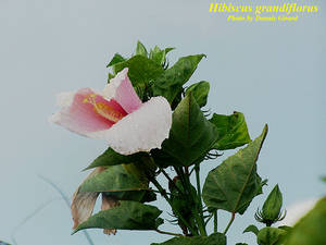 Hibiscus grandiflorus