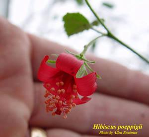 Hibiscus poeppigii