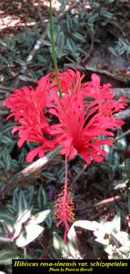Hibiscus rosa-sinensis var. schizopetalus