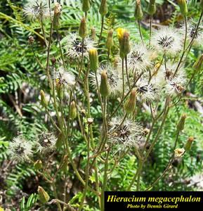 Hieracium megacephalon