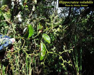 Hippocratea volubilis