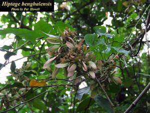 Hiptage benghalensis