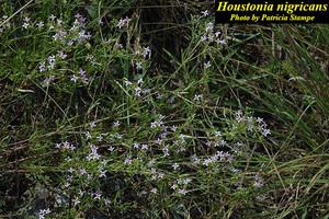 Houstonia nigricans