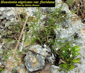 Houstonia nigricans var. floridana
