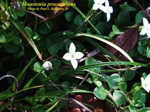 Houstonia procumbens
