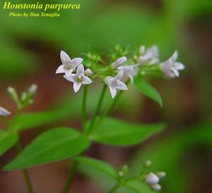 Houstonia purpurea