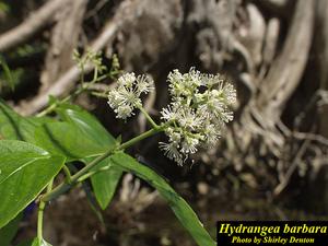 Hydrangea barbara
