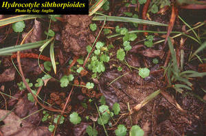 Hydrocotyle sibthorpioides