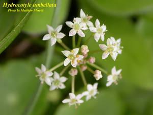 Hydrocotyle umbellata