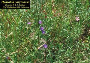 Hydrolea corymbosa