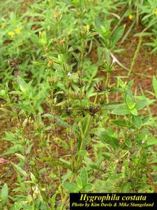 Hygrophila costata