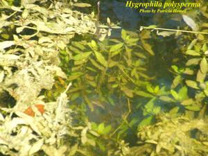 Hygrophila polysperma
