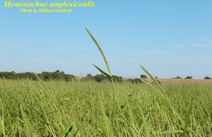 Hymenachne amplexicaulis
