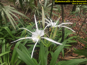 Hymenocallis choctawensis
