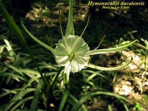 Hymenocallis duvalensis