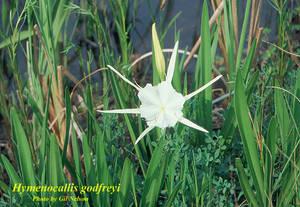 Hymenocallis godfreyi