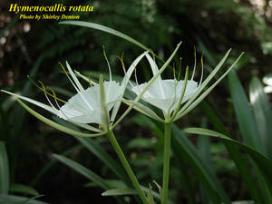 Hymenocallis rotata