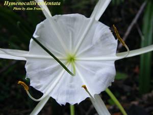 Hymenocallis tridentata