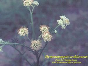 Hymenopappus scabiosaeus