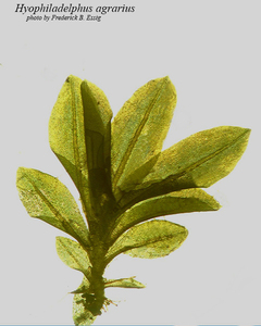 Hyophiladelphus agrarius