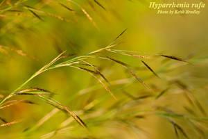 Hyparrhenia rufa
