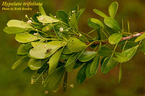 Hypelate trifoliata