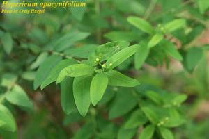 Hypericum apocynifolium