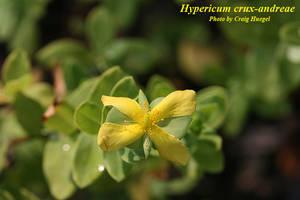 Hypericum crux-andreae