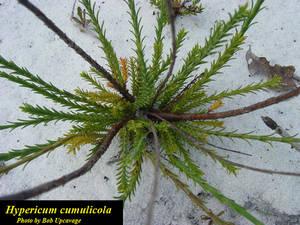 Hypericum cumulicola