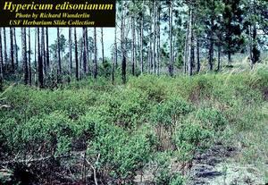 Hypericum edisonianum