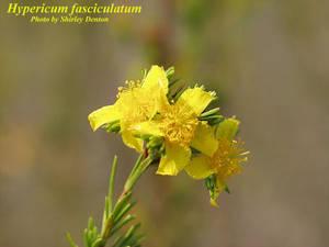 Hypericum fasciculatum