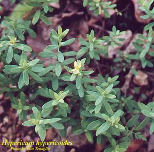 Hypericum hypericoides