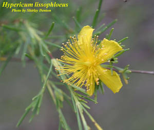 Hypericum lissophloeus