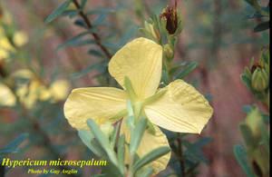 Hypericum microsepalum
