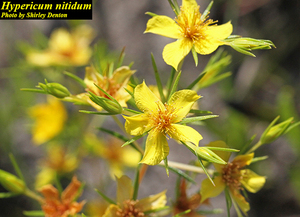 Hypericum nitidum